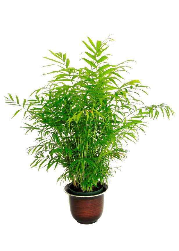 cây cảnh dễ trồng - cây tre cọ