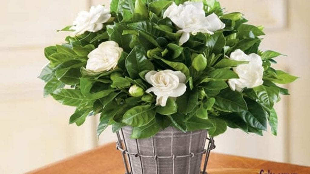 Hoa dành dành là cây xanh xứng đáng trồng trong phòng ngủ