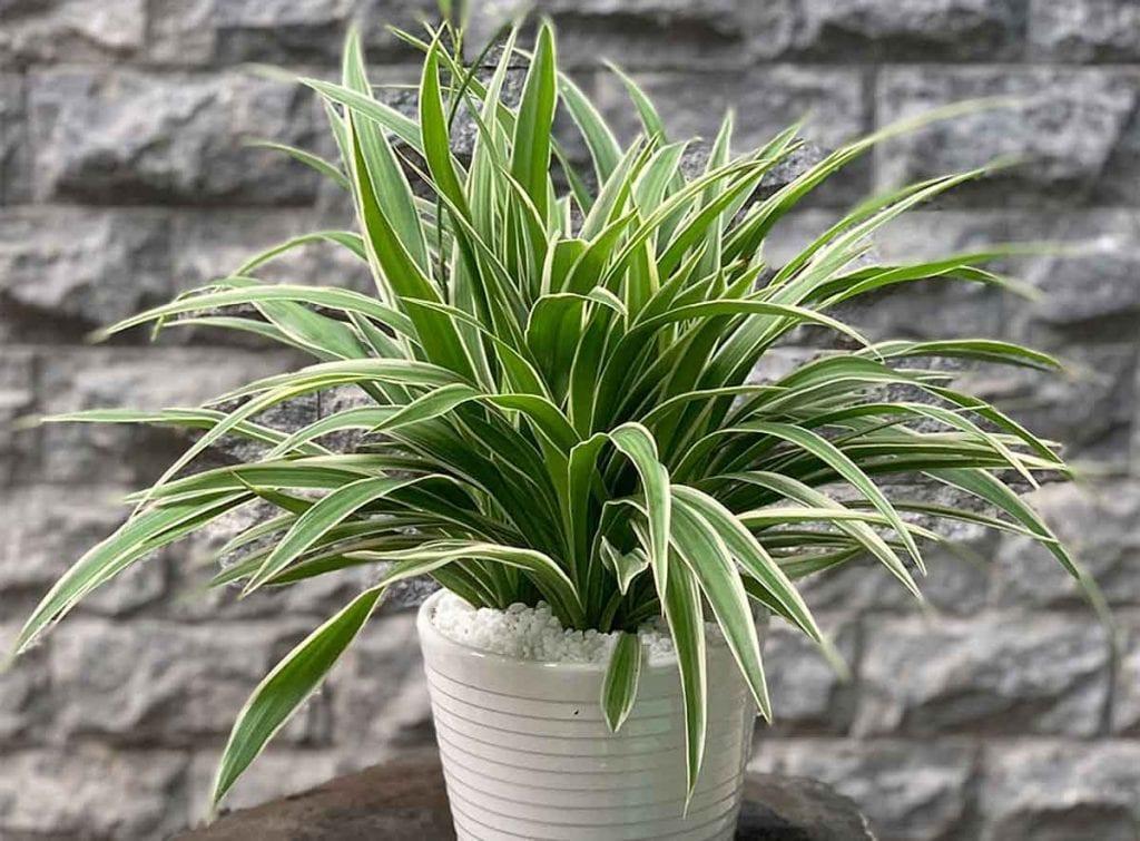 Cây Dây Nhện là một trong những cây trồng trong phòng ngủ phổ biến